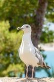 Funny White Seagull Bird Royalty Free Stock Image