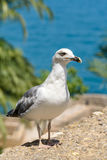 Funny White Seagull Bird Royalty Free Stock Images