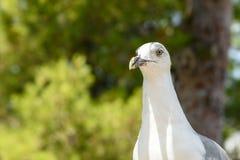 Funny White Seagull Bird Stock Photography