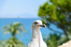 Funny White Seagull Bird Royalty Free Stock Photo