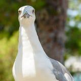 Funny White Seagull Bird Stock Image