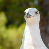 Funny White Seagull Bird. Portrait Stock Images