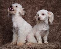 Funny white seated bichon couple looks to side stock image