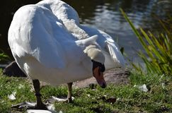 Funny white swan preening. Preening funny white swan with head turned around Stock Photos