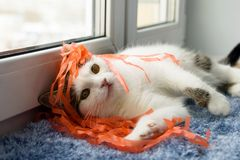 Funny white tabby cat is playing with ribbons near to the window. Stock Images