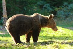 Funny wild bear in a glade Royalty Free Stock Images