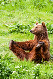 Funny Wild Brown Bear Yoga Practice Royalty Free Stock Image