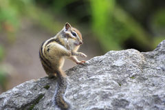 Funny wild chipmunk. Scratched rear paw Stock Image