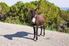 Funny wild donkey. Funny donkey looking at the camera, Cyprus, Karpaz National Park Wild Donkey Protection Area Royalty Free Stock Image