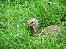 Funny Wild Turkey chick looking at camera Stock Photo