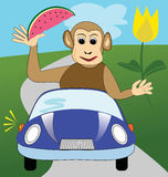 Funny winking monkey with yellow tulip and melon in blue car Royalty Free Stock Photo