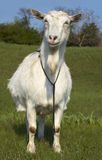 Funny wite goat grasing at lawn Stock Photos