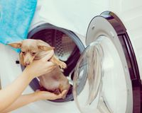 Woman sorting clothes for washing. Funny woman in bathroom puts her pet dog in washing machine. Animals at home concept stock images