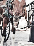 Funny yawning carriage  horse. Dominican Republ Stock Images
