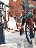 Funny yawning carriage  horse in Santo Domingo, Dominican Republ Stock Photo