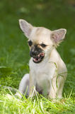 Funny yawning chihuahua puppy Stock Photography