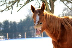 Funny Yawning Horse. Chestnut  horse  yawning  after exercising in the snow Royalty Free Stock Photos