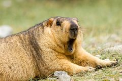 Funny yawning himalayan marmot groundhog on the green meadow royalty free stock image