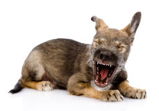 Funny yawning puppy. Stock Photo