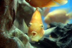 Funny yellow fish Royalty Free Stock Photography