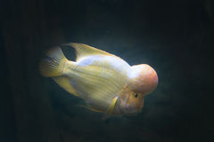Funny yellow fish Royalty Free Stock Images