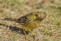 Funny Yellowhammer (Emberiza citrinella) Royalty Free Stock Image