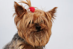 Funny yorkie Stock Images