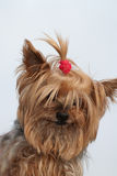 Funny yorkie. Portrait of a funny nice lapdog Royalty Free Stock Photography