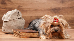 Funny yorkie puppy on table with wooden texture Royalty Free Stock Photos