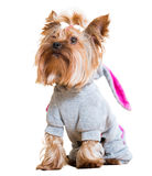 Funny Yorkshire Terrier Royalty Free Stock Images