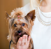 Funny Yorkshire Terrier on  hands Royalty Free Stock Photography