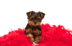 Funny yorkshire terrier looking to the camera Stock Image