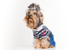 Funny Yorkshire terrier in pullover stock photo