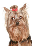 Funny Yorkshire terrier puppy Royalty Free Stock Image