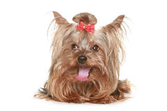 Funny Yorkshire terrier puppy Royalty Free Stock Photography