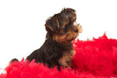 Funny yorkshire terrier with red boa. Isolated on white Royalty Free Stock Photography