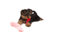 Funny yorkshire terrier with red feather on its mouth Stock Photography