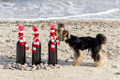 Funny Yorkshire Terrier sniffs a gift bottle of wine in knitted Royalty Free Stock Photo
