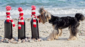 Funny Yorkshire Terrier sniffs a gift bottle of wine in knitted Stock Photography