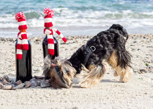 Funny Yorkshire Terrier sniffs a gift bottle of wine in knitted Stock Images