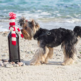 Funny Yorkshire Terrier sniffs a gift bottle of wine in knitted Royalty Free Stock Photography