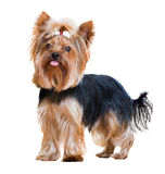 Funny Yorkshire Terrier Royalty Free Stock Photo