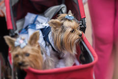 Funny Yorkshire Terriers in red children`s pram. Sometimes dogs for their owners replace children. Concept of friendship Stock Image