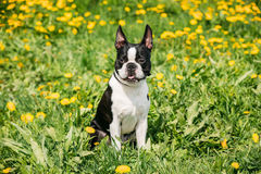 Funny Young Boston Bull Terrier Dog Outdoor In Green Spring Meadow. With Yellow Flowers. Playful Pet Outdoors stock photo