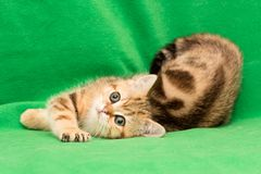 Funny young British cat Golden marble color lies on a green background stock image