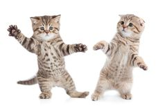 Funny young cats dancing. Two funny young cats dancing on white stock photography