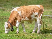 Funny young cow with bell on meadow royalty free stock photos