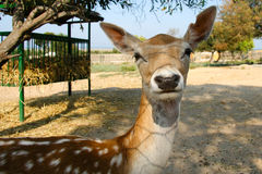 Funny Young deer. Tunis Zoo Royalty Free Stock Photo