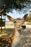Funny Young deer. Tunis Zoo Royalty Free Stock Photos