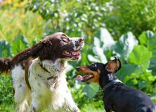 Two dogs playing rough in grass Royalty Free Stock Photos